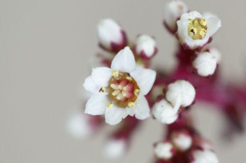 赤鬼城の白い花(多肉植物).jpg