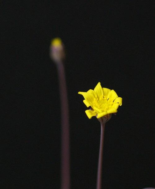 ルビーネックレスの花