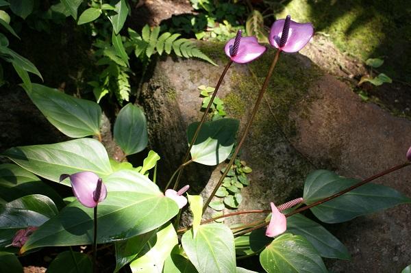 紫色のアンスリュウム