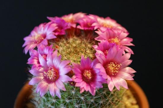サボテン・月影丸の花