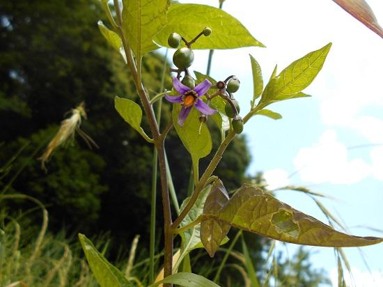オオマルバノホロシ:花が好き♪...
