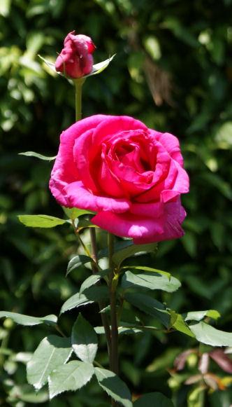 バラの花「パローレ」