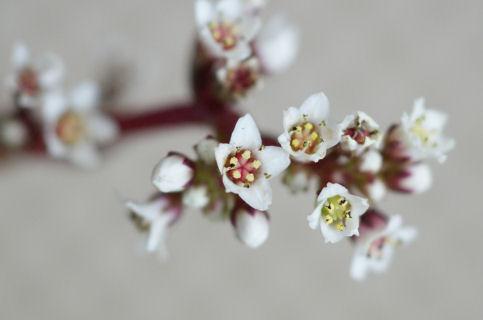 赤鬼城の白い花(多肉植物)a4.jpg
