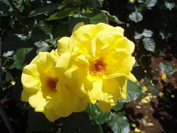 バラの花・フリージア