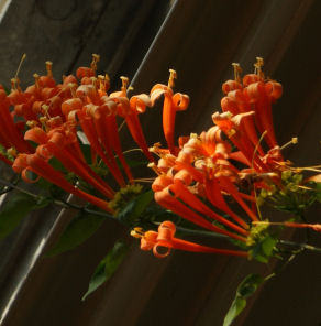 カエンカズラの花