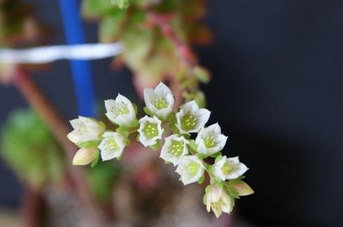 レティジアの花.JPG