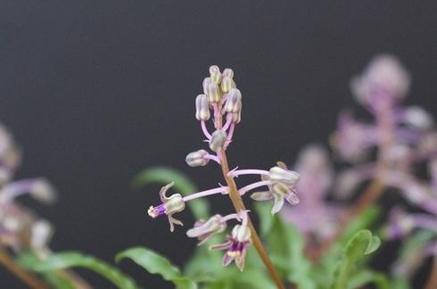 レディボウリア・ウンドゥラータの花.JPG