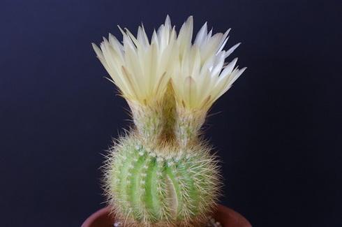 金小町の花。サボテンです。.JPG