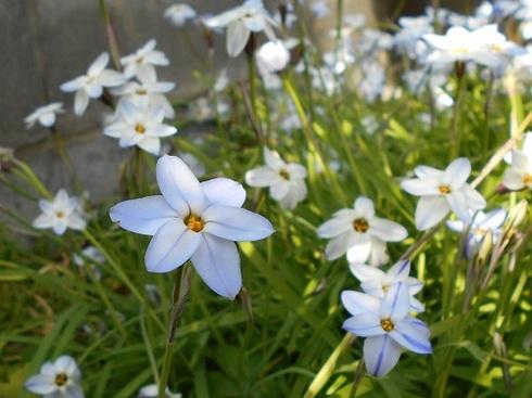 イフェイオンの花.JPG
