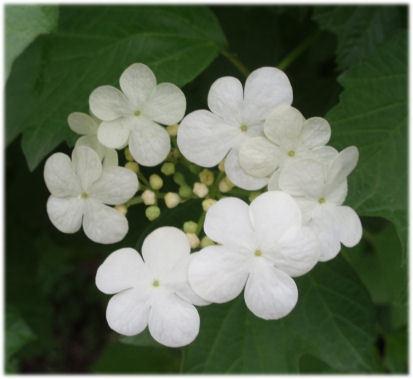 カンボクの花.jpg