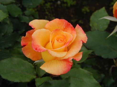 オレンジ色のバラ.jpg