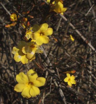 黄梅の花.jpg