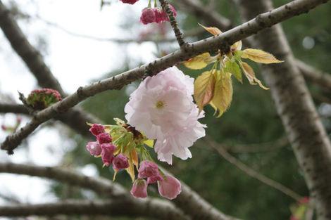 東京都立東綾瀬公園の桜