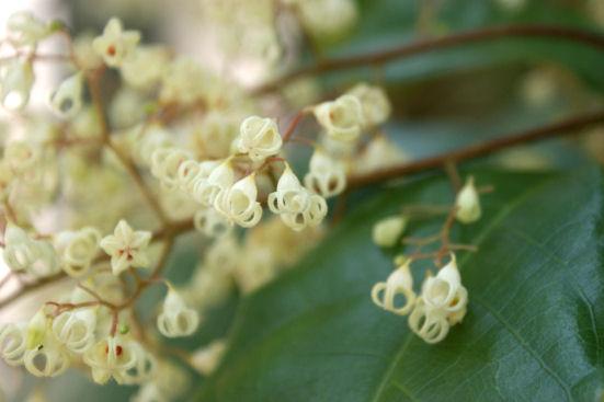 ピンポンノキの花