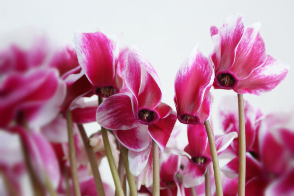 シクラメンの花・赤と白のマーブル