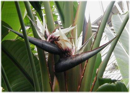 ストレチア・アルバの花
