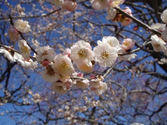 水戸、偕楽園の梅
