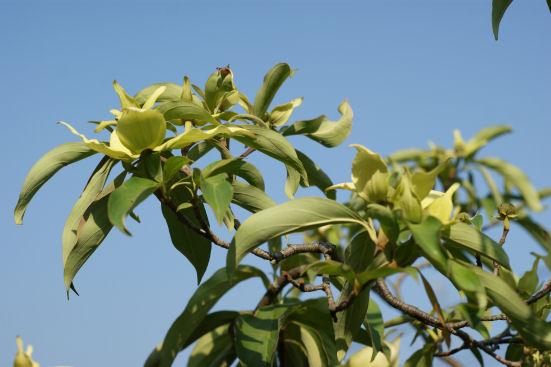 黄花ヤマボウシ