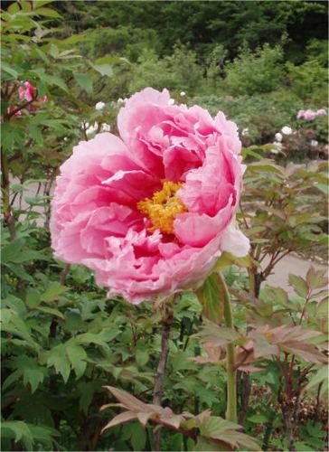 ピンク色の牡丹の花