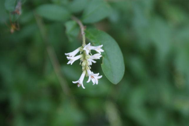 イボタノキの花