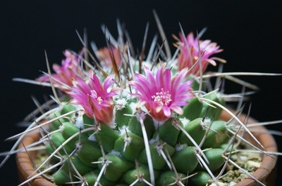 サボテン・マミラリア・ブカレンシスの花