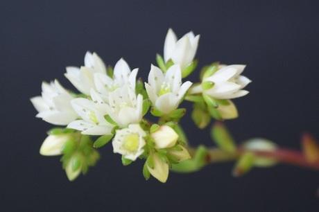 多肉植物・レティジアの花