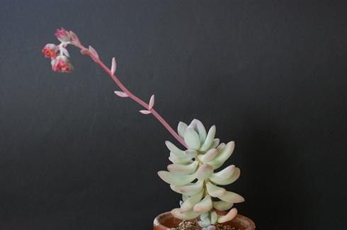 桃美人の花。多肉植物です。4.JPG