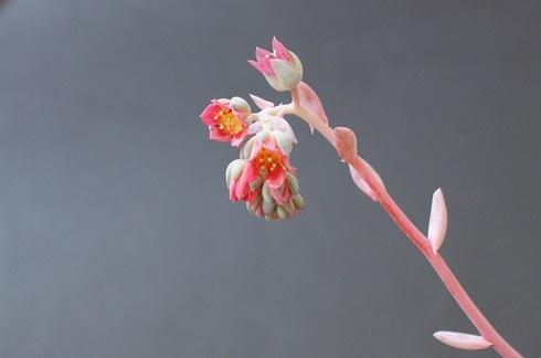桃美人の花。多肉植物です。.JPG