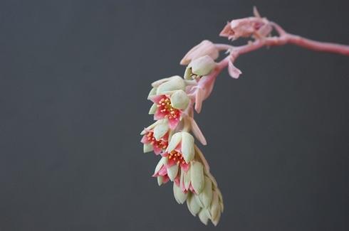 月美人の花.JPG