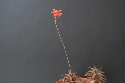 ディスコインシーの花.JPG