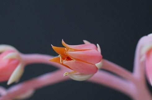 エケべリアの花.JPG