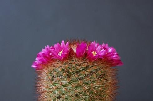 猩々丸の花.JPG