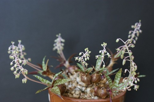 豹紋の花。多肉植物の花です.JPG