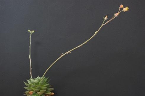 大和姫の花.JPG