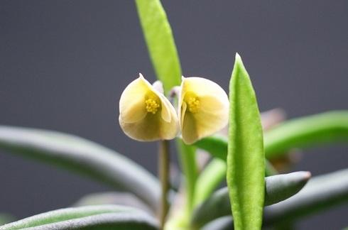 シリンドリフォリアの花.JPG