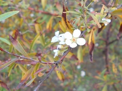 秋の雪柳.JPG