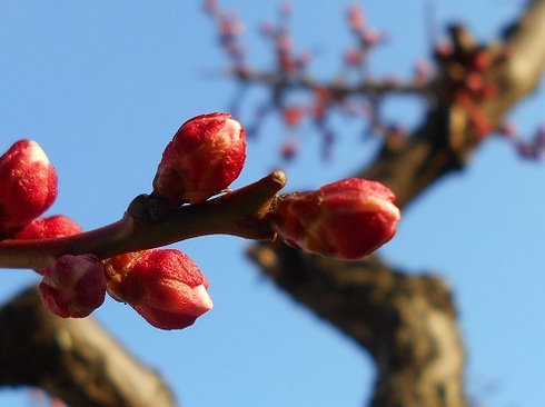 梅のツボミ.JPG