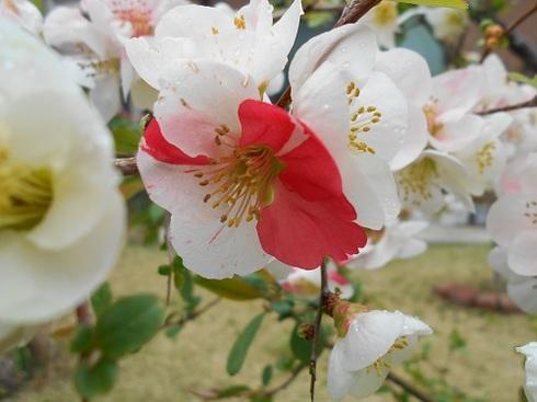 木瓜の花.JPG