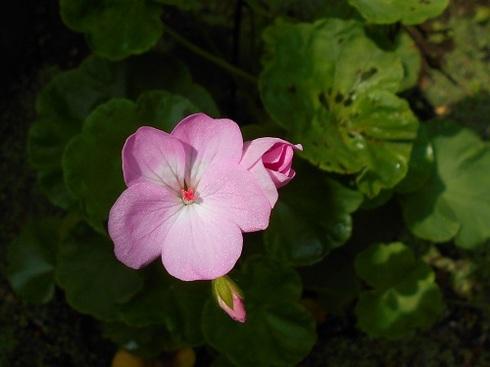 ピンク色のゼラニウム.JPG