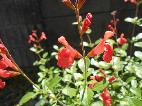 チェリーセージの花.JPG