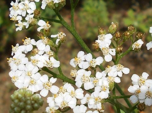 ハーブ。白い花の「ヤロウ」.JPG