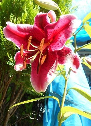濃いピンク色のカサブランカ.JPG
