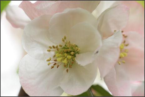木瓜(ボケ)の花.jpg