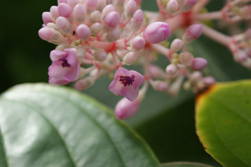 メディニラ・スペキオサの花.jpg