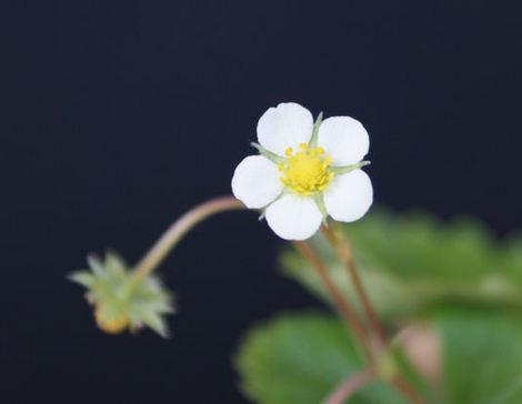 ワイルドストロベリーの花.jpg