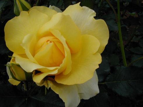 黄色いバラ.jpg