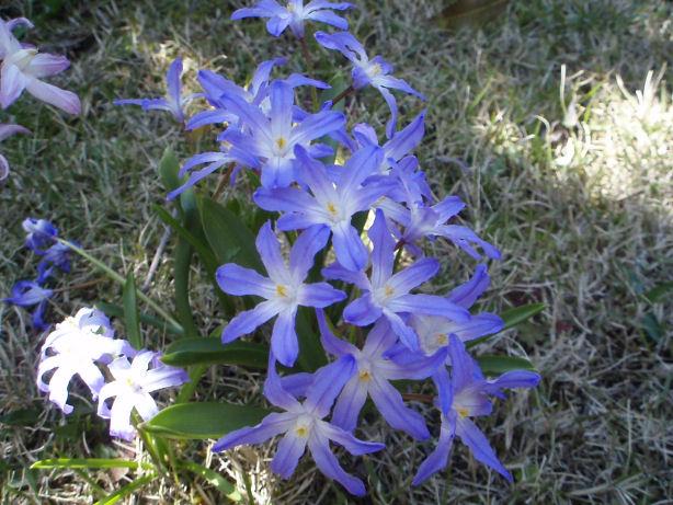 チオノドグサの花